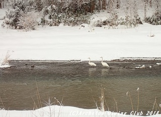 180111-swan.jpg