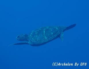 アオウミガメ in 八丈ブルー