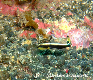 コロダイ幼魚