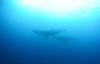 whale-151213-03-600.jpg